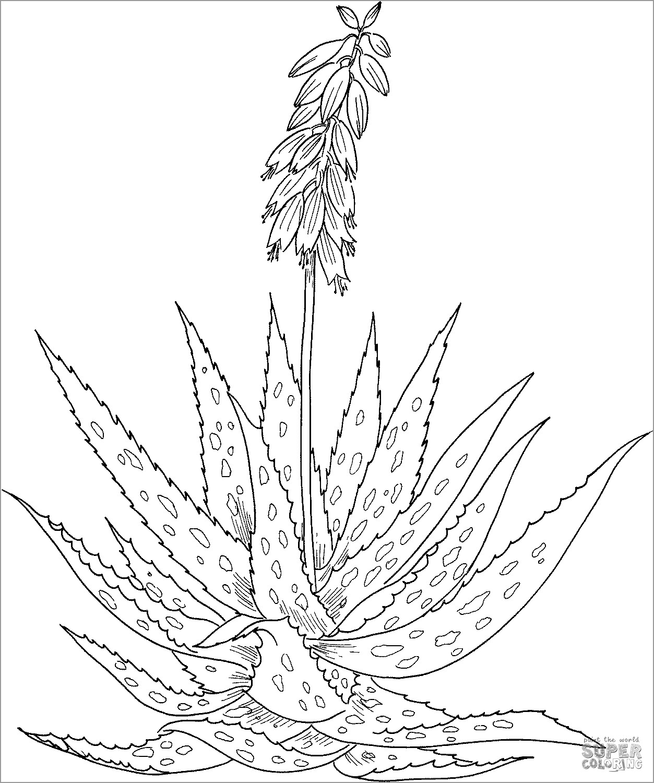 Aloe Vera Coloring Page