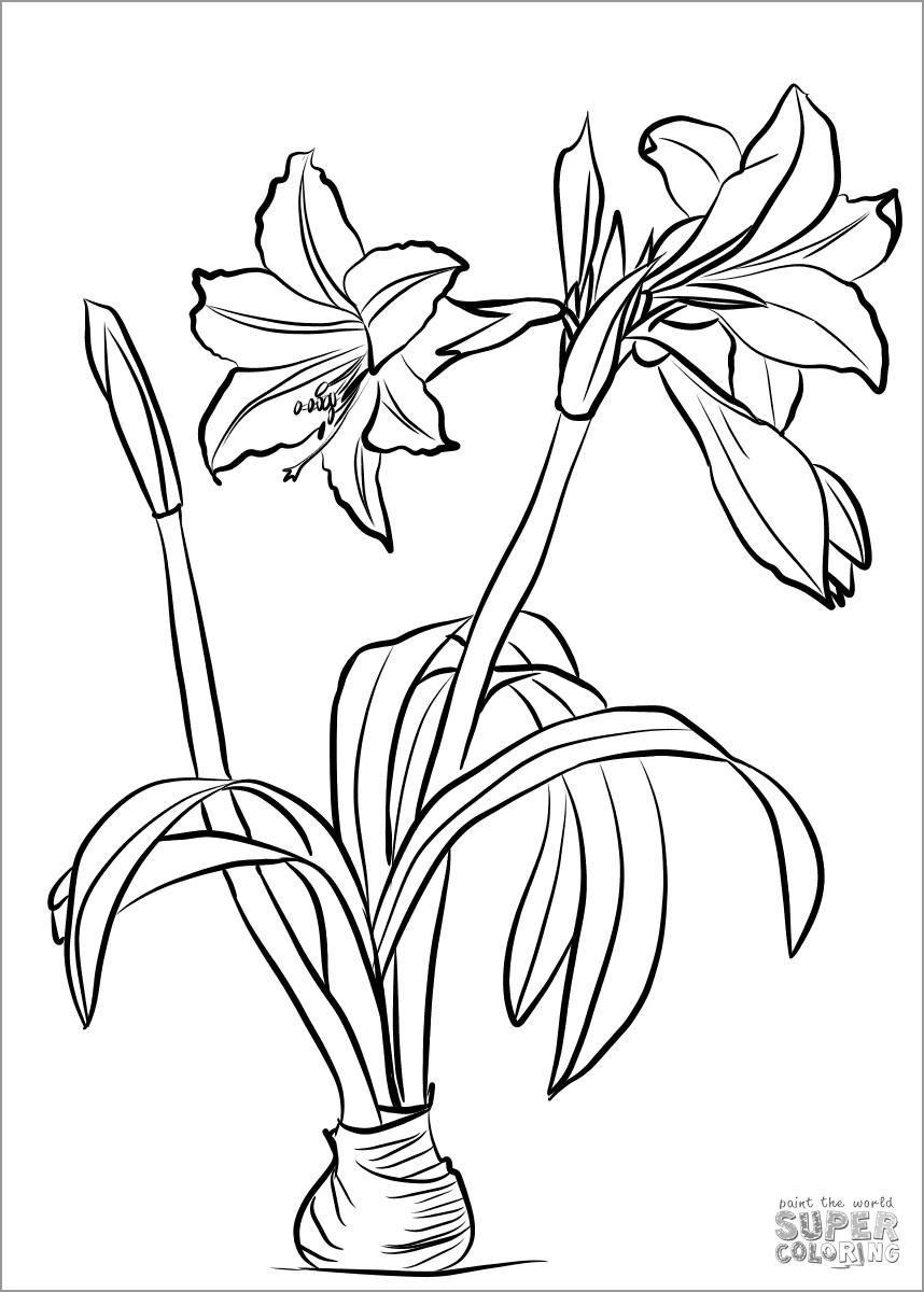 Amaryllis Brasiliensis Coloring Page