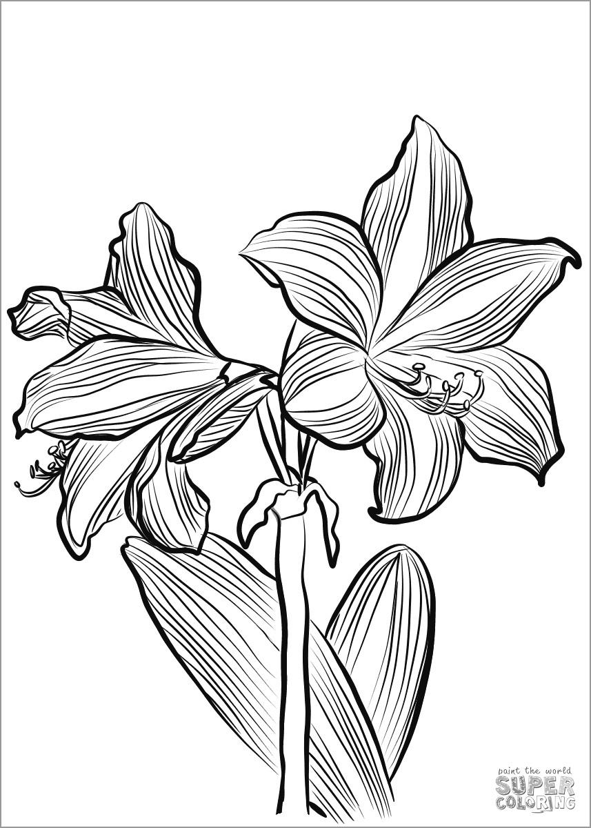 Amaryllis O Brieni Coloring Page