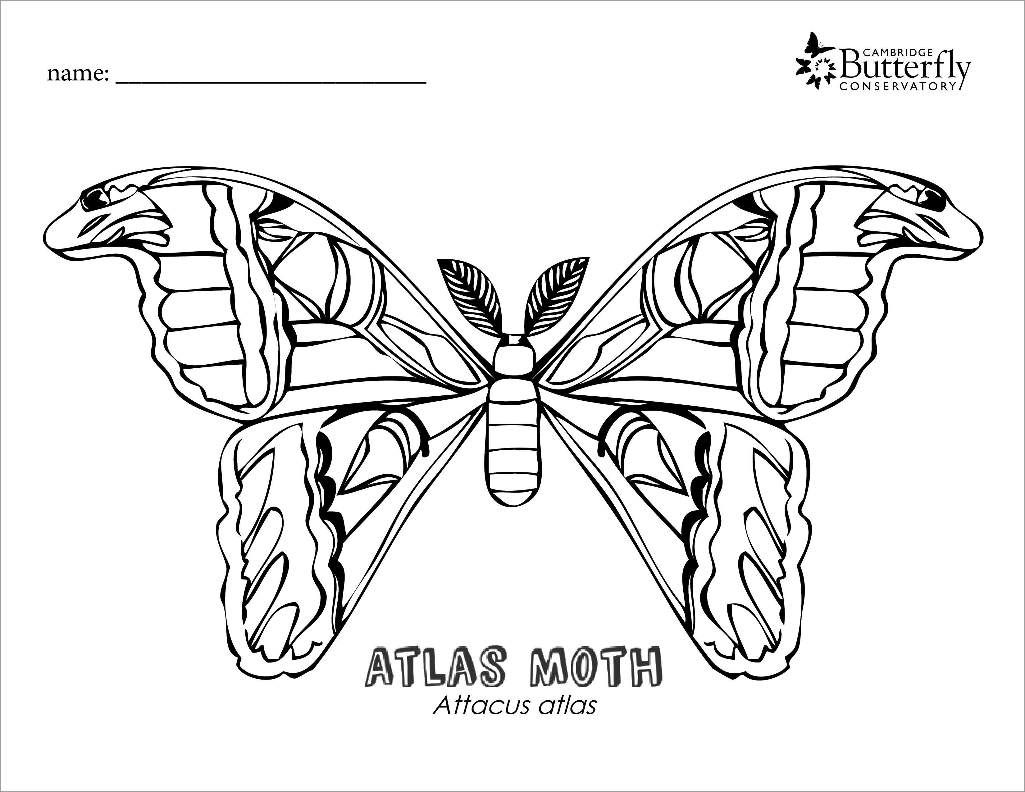 Atlas Moth Coloring Page