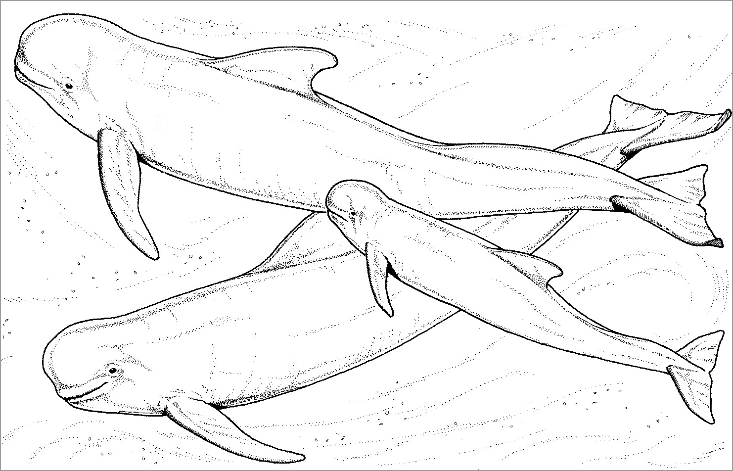Beluga Whale Families Coloring Page