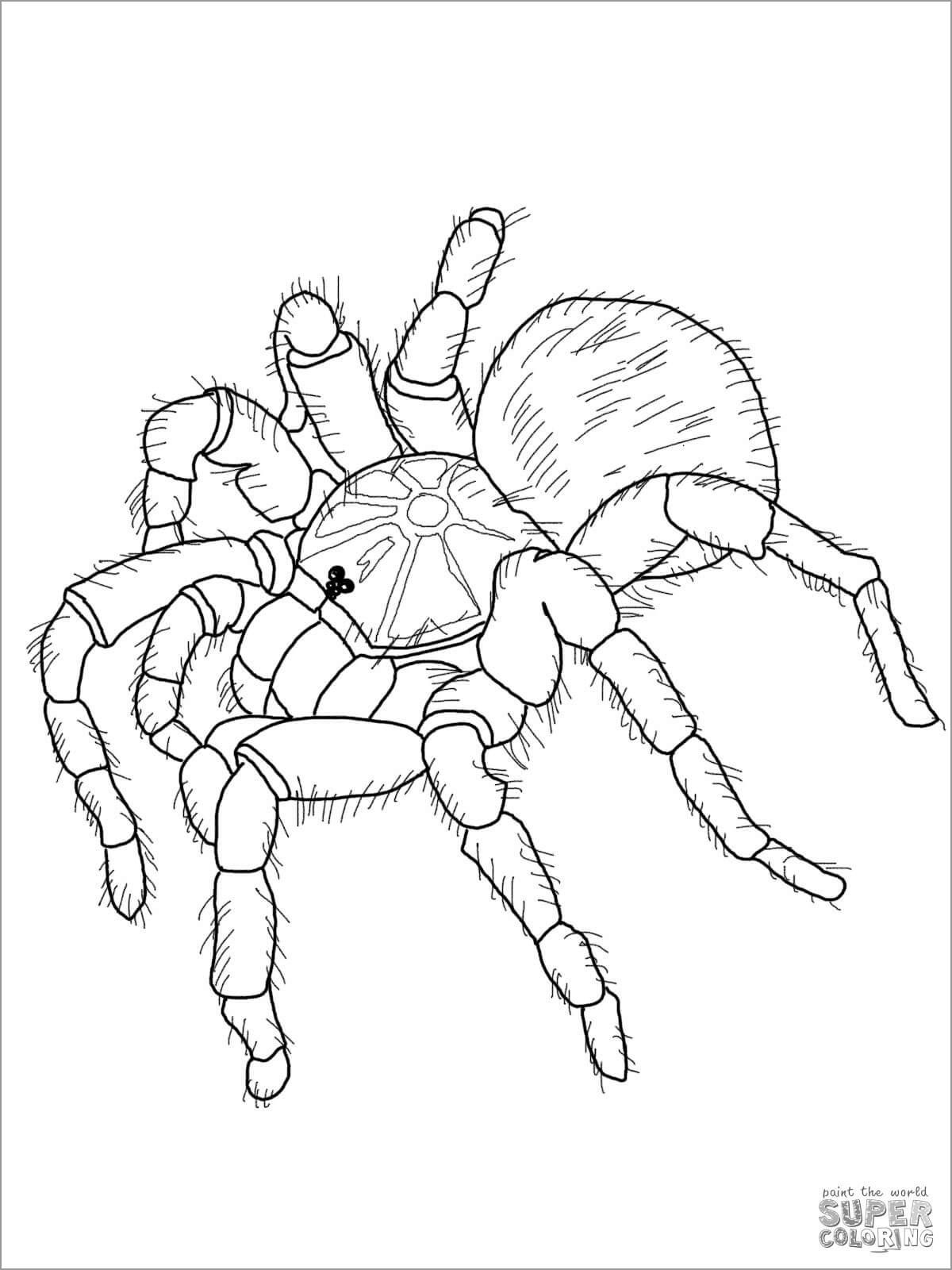 Goliath Tarantula Coloring Page