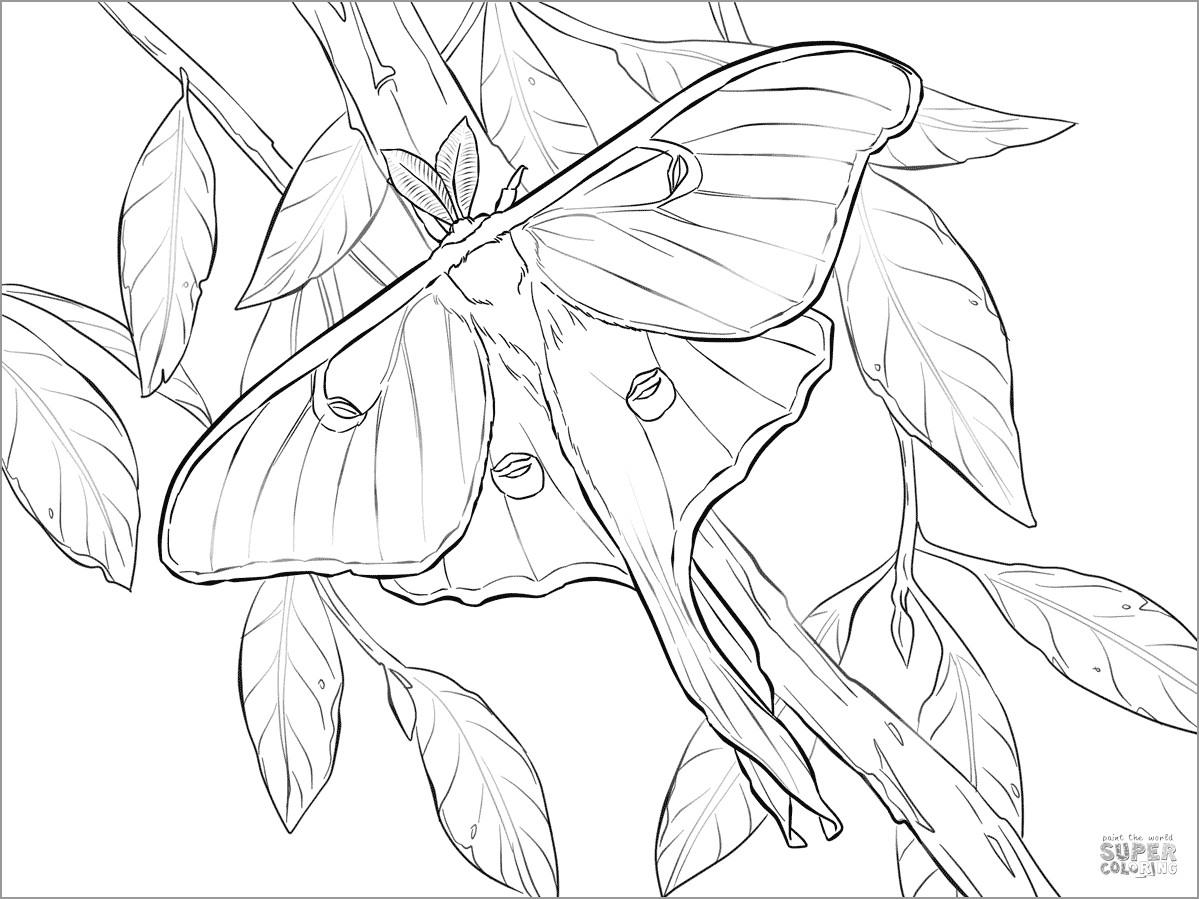 Luna Moth Coloring Page