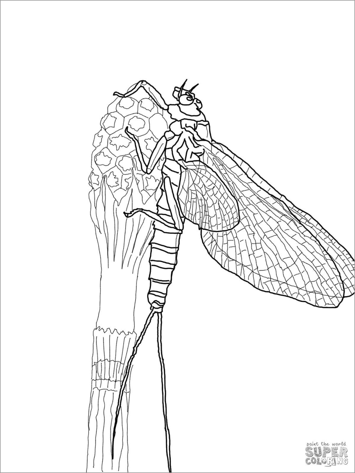 March Brown Mayfly Coloring Page