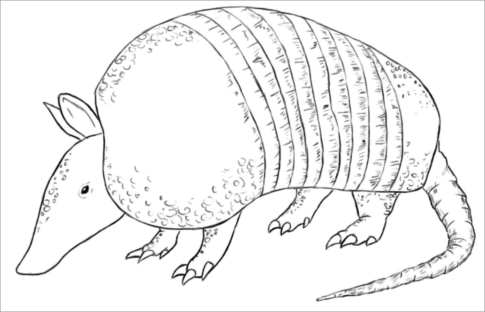 armadillo coloring pages coloringbay