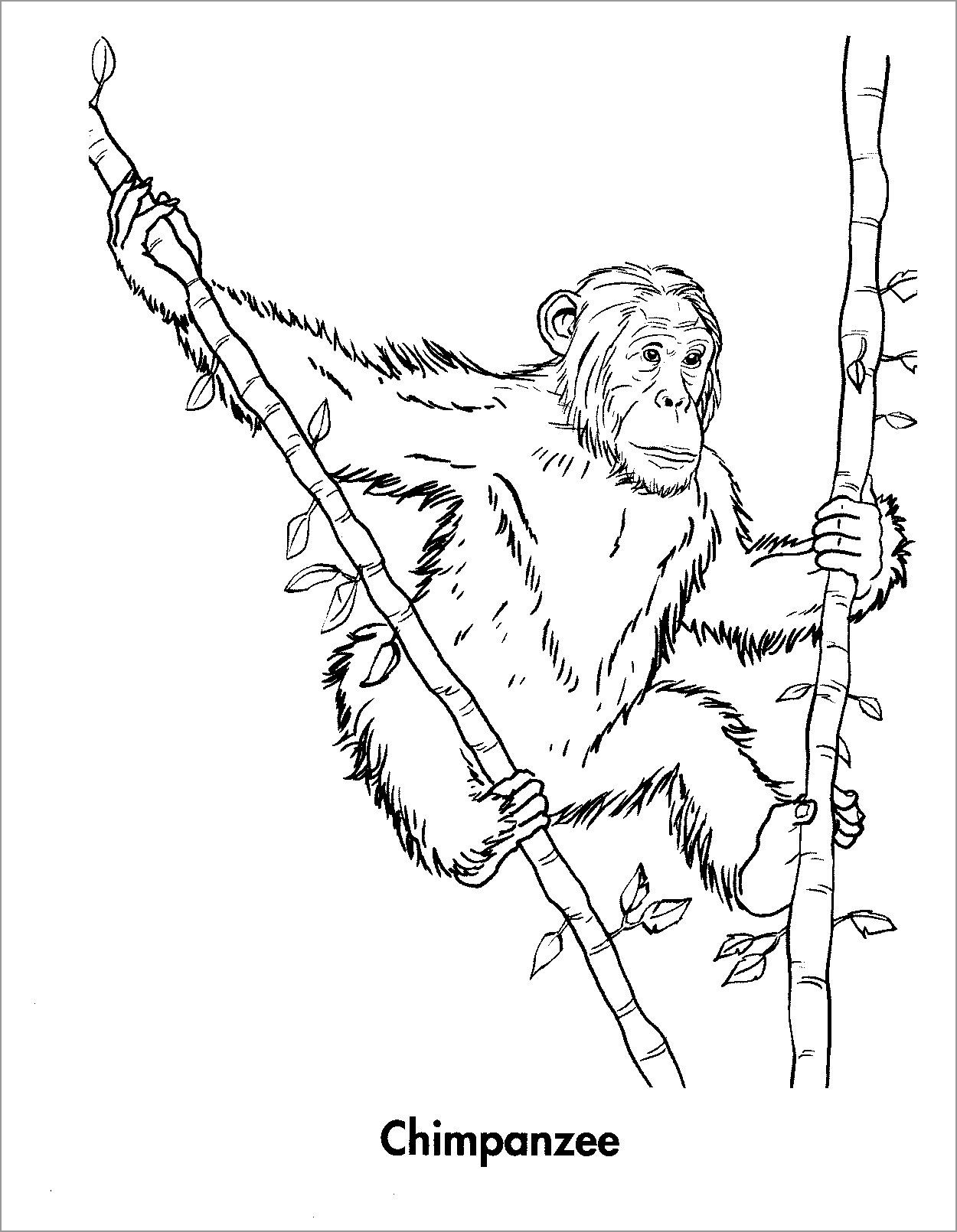 Printable Chimpanzee Coloring Page