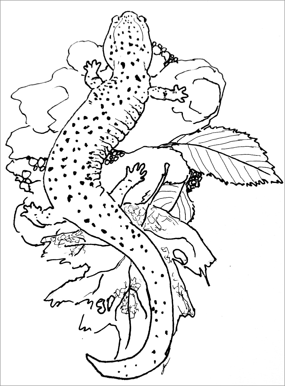 Salamander Coloring Page to Print