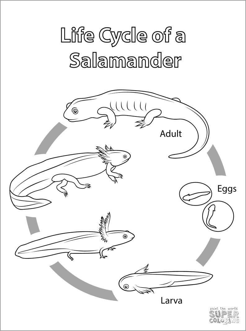 Salamander Life Cycle Coloring Page