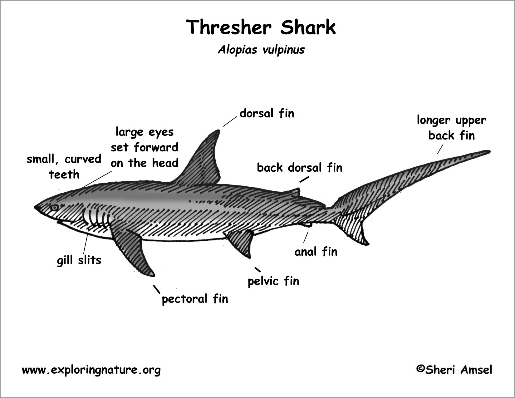 Thresher Shark Anatomy Coloring Page